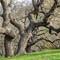 Oak K-S2-_IMG0193
