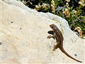 Lizard on Rock Grand Canyon 2010
