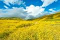 Golden Super Bloom Carrizo Plain-8589