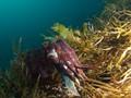 Australian Griant Cuttlefish
