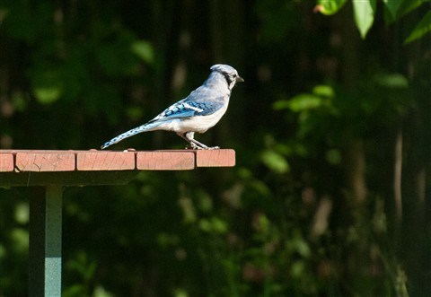 20110628_Blue_Jay_bird_picnic_table_shutter_speed_motion_117_iPad