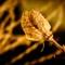 Daylily seed pod skeleton