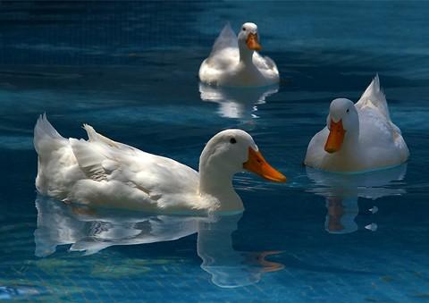 White ducks-X