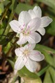 Silver Lake Park, in Highland, Illinois, USA - Claytonia virginica (white Spring Beauty) wildflower