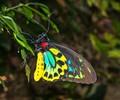 Male Birdwing