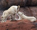 White  Lion Cubs  ( Toronto  Zoo )