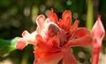 Jamacain Flower