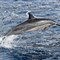Kauai Dolphin
