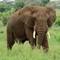 Elephant - Tarangire NP