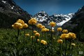 """some yellow flowers in the foreground with the peak """"Ventina"""" in the background"""
