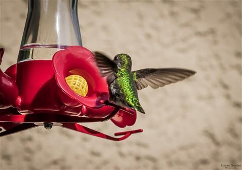 20130518-Humming-Bird-0001