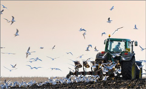 gulls and the plough