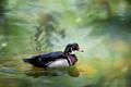 Monet's Wood Duck