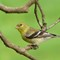 American Goldfinch (f) 3 Origwk1_MG_2609
