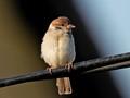 Young Mountain Sparrow