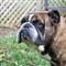 Lincoln English Bulldog
