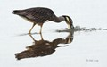 Adult Yellow Crowned Night-Heron