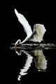 ----the WHITE GREAT EGRET----