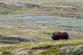 Tundra and Musk Ox