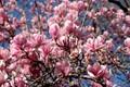Pink magnolias in Washington DC