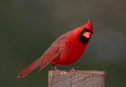 Cardinal7895
