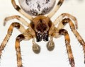 Young Furrow Spider