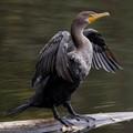 dc-cormorant_B080064-