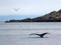 Humpback Whale at Alaska