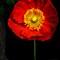 poppy-4869