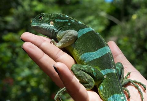 Fiji Banded Iguana, Viti Levu, Fiji