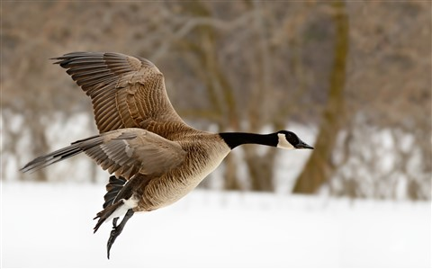 RudyPohl's goose