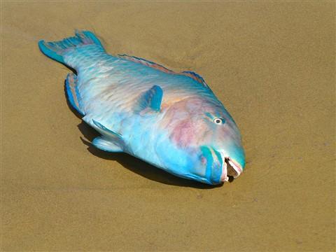 P1150145parrotfish1