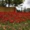 1000 poppies