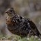 Roughed Grouse