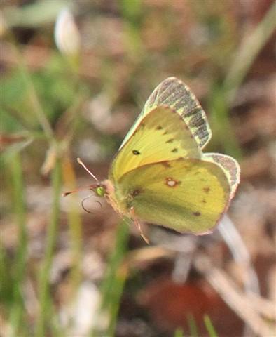 Butterfly_8486