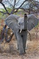 Young African Elephant Bull