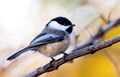 Black-capped Chickadee - Maine, Massachusetts