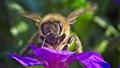 Honeybee portrait