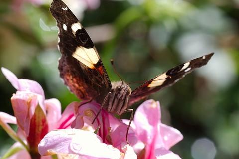 Australian Admiral butterfly,  Vanessa itea