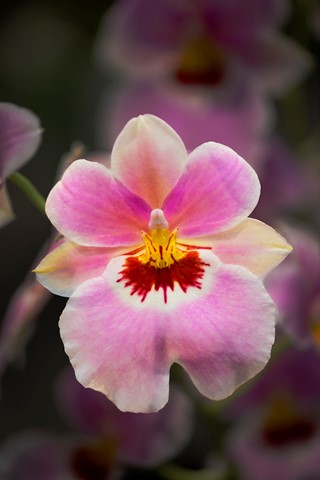 orchid-dp