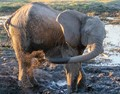 An elephant in Chobe National Park showers before a date.