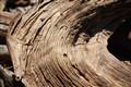 Pinon pine trunk