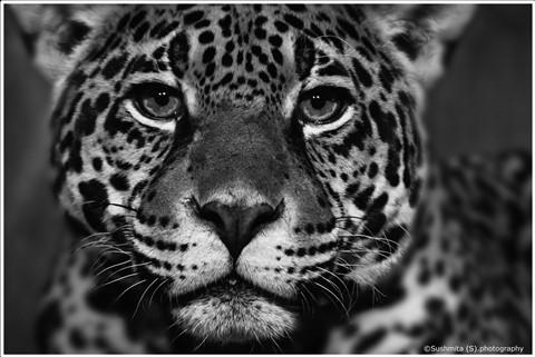 JaguarEyes_BW
