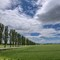 Early Summer Poplars Row Under Sky