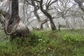 Snowgums in the mist