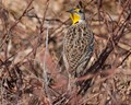 Western Meadowlark in KS USA