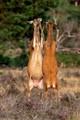 Deer go hoof to hoof