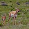 Pronghorn Mother and Calf