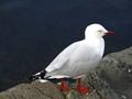 A Colour-Coordinated Gull