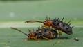 Spiny Leaf Beetles